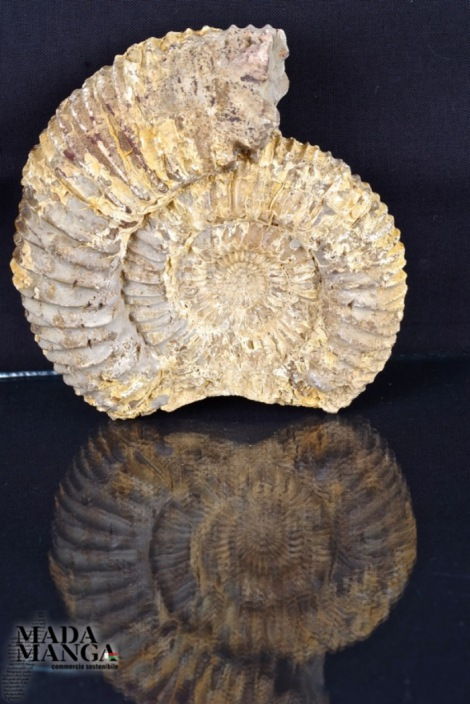 Ammonite su septaria