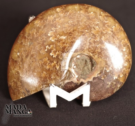 Ammonite intera lucidata