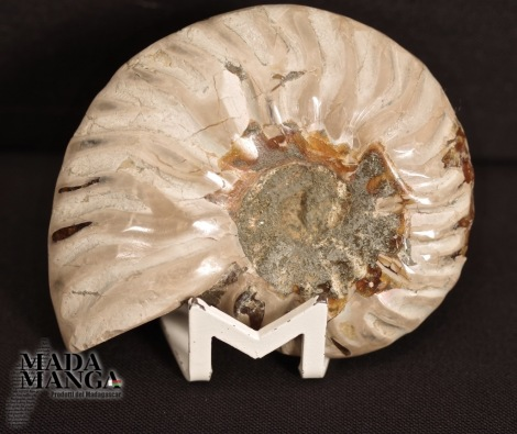 Ammonite intera lucidata cm.5,4