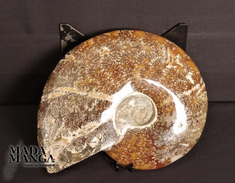 Ammonite intera lucidata cm.19